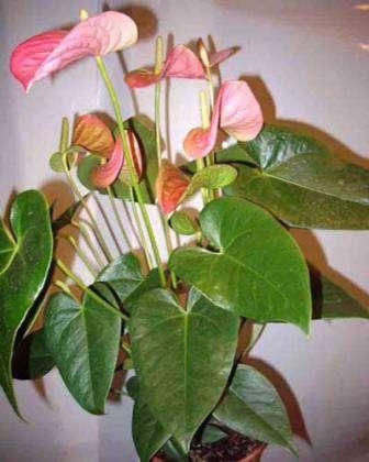 Кімнатні рослини антуріум