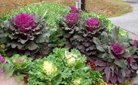 Декоративна капуста вирощування і догляд.