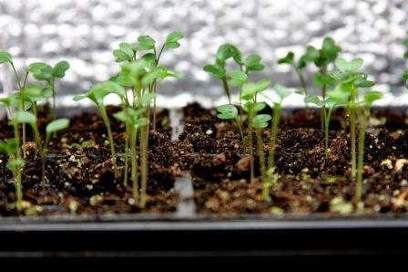Декоративна капуста вирощування