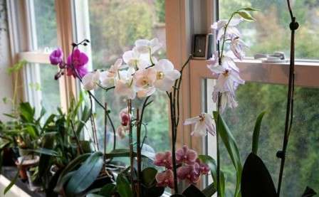 Догляд за орхідеями в домашніх умовах