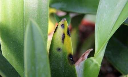 Бактеріальні захворювання орхідей