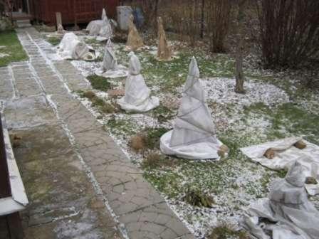 Підготовка чагарників культурних сортів роз до зими