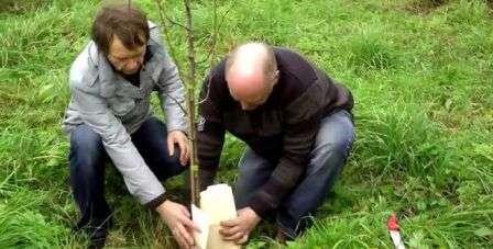 Підготовка до зими (садових) дерев
