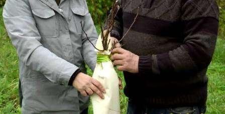 Як підготувати плодові дерева до зими