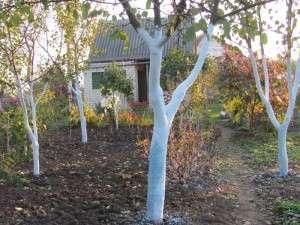 Побілка дерев на зиму - як білити дерева восени