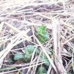 Посадка картоплі під солому