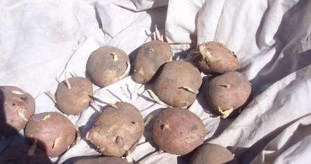 Підготовка картоплі до посадки