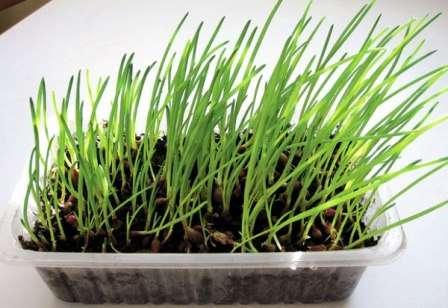 Вирощування цибулі в домашніх умовах на підвіконні