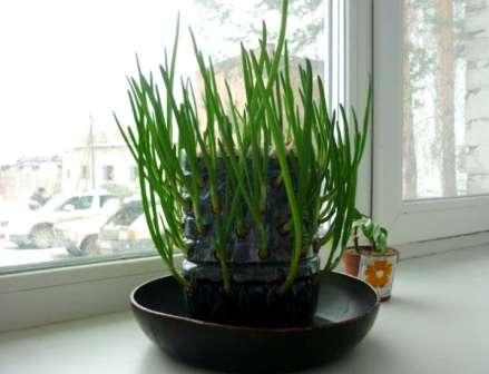 Технологія вирощування цибулі зеленої на підвіконні зимою