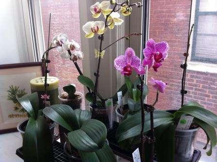 Вирощування орхідей