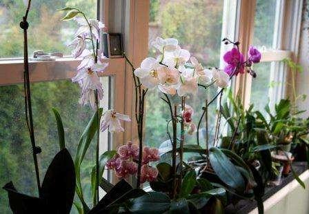 Як вирощувати орхідею