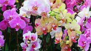 Вирощування орхідей в домашніх умовах