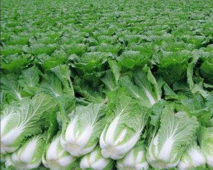 Розведення пекінської капусти і салату в теплиці