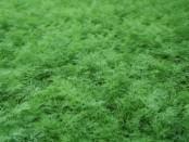Вирощування зелені в теплиці цілий рік