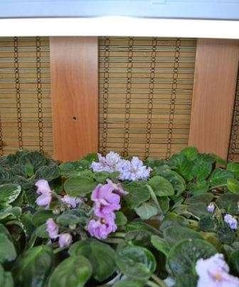 Умови догляду за фіалкою: Вологість повітря і правильний полив