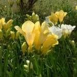 Фрезія: Вирощування, посадка і догляд у відкритому ґрунті