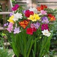 Квітка Фрезія: Вирощування