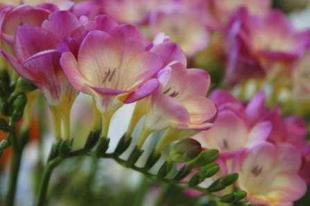 Вирощування фрезії в саду в домашніх умовах фото