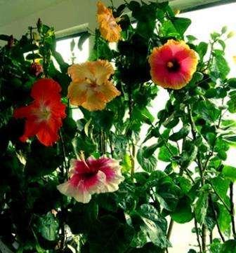 Догляд за китайською трояндою (Гібіскусом)