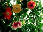 Гібіскус розмноження та обрізка китайської рози