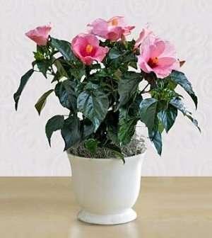Гібіскус кімнатний, як і багато інших квітів, любить вологу, і полив