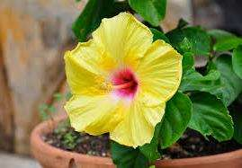 Гібіскус кімнатний цвіте близько трьох місяців - з середини літа до початку осені.