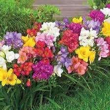Квітка Фрезія вирощування в домашніх умовах