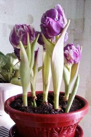 Вигонка тюльпанів до 8 березня - відео