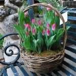 Вигонка тюльпанів до 8 березня