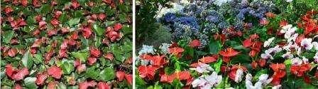 Квіти в зимовому саду: Антуріум