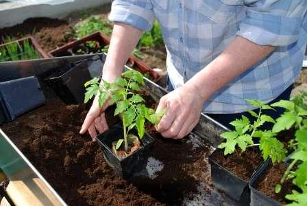 розсада помідорів вирощування фото