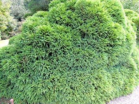 декоративні дерева фото