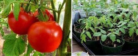 Посівний календар для вирощування томатів