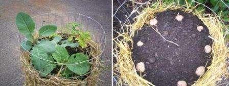 Вирощування картоплі в мішках, контейнерах