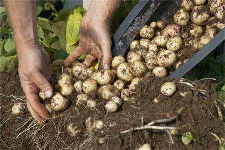 Вирощування картоплі в мішках і контейнерах