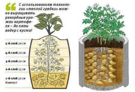 Як вирощувати картоплю в контейнерах, бочках