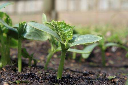 Коли садити огірки на розсаду