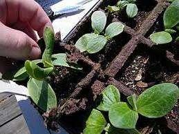 Рекомендується використовувати торф'яні горщики для розсади огірків