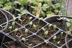 Час посіву огірків на розсаду в 2021 році