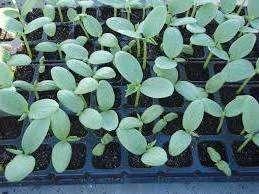 Посадка насіння огірків в ґрунт