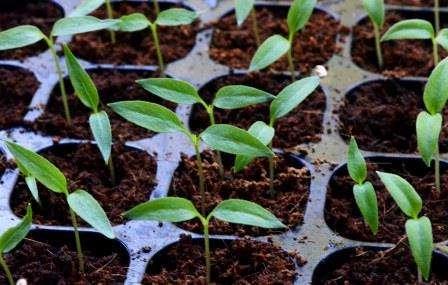 Коли садити перець на розсаду в 2019 році