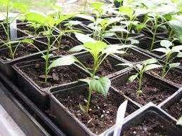 Коли садити перець на розсаду: основні правила