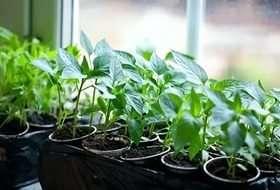 Як садити перець на розсаду в 2021 році