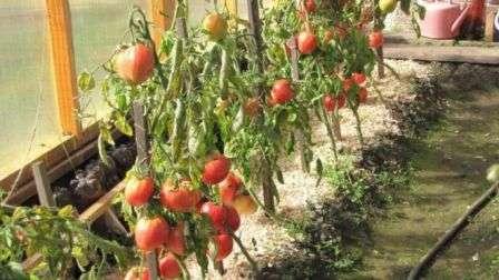 Кращі сорти помідор для теплиць