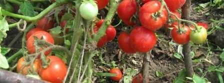 Низькорослі сорти помідор для теплиць