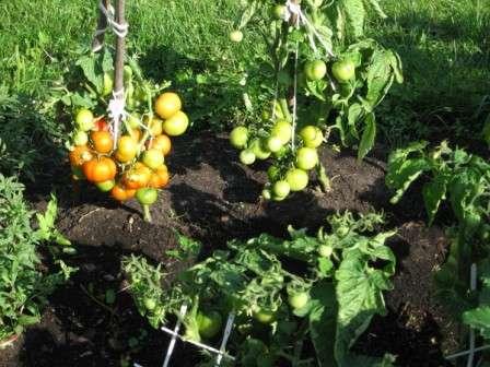 Сорти томатів для відкритого грунту