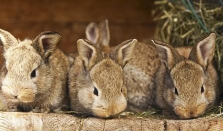 Розведення кролів в домашніх умовах