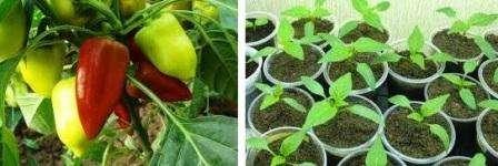 Вирощуємо перець і баклажани по посівному місячному календарю