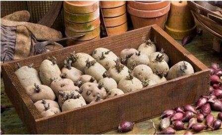 Застосування ящиків для пророщування картоплі