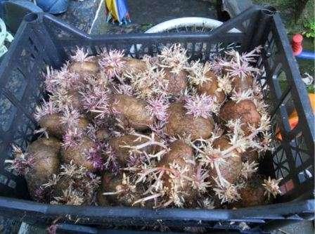 Як пророщувати картоплю перед висадкою в ґрунт